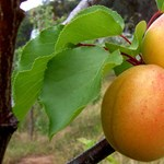 Minden idők egyik leggyengébb gyümölcstermése várható idén