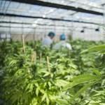 Meghökken, ha megtudja, melyik európai ország a legális könnyű drogok legnagyobb exportőre
