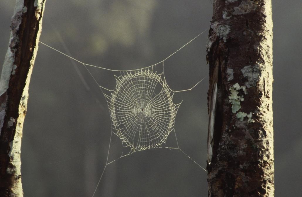 afp. pók, pókháló, nagyítás - 1899.11.30. Papua New Guinea, spider's web