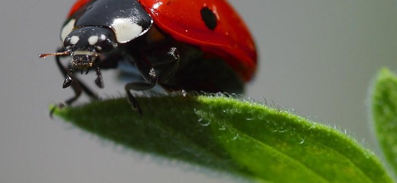Cuki biofegyver: védje kertjét katicabogárral!