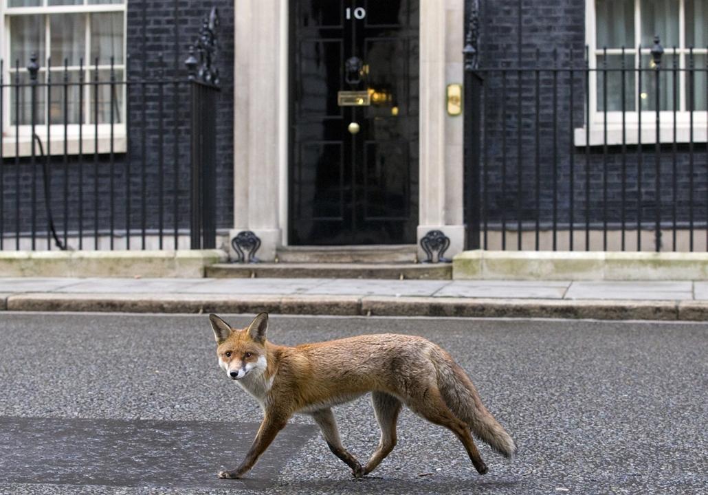 afp. hét képei - róka Londonban, Egyesült Királyság, 2015.01.13.  fox runs past the door of 10 Downing Street on Janurary 13, 2015.