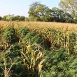 Kukoricának álcázta a kannabiszt – nem jött be