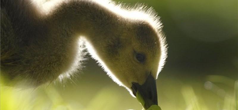 Családi program: libák lesznek az urak a fővárosi állatkertben is