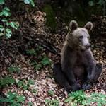 Migránssá válik pár tusnádfürdői medve