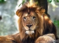 Lenyűgöző hímoroszlán teteme felett csókolózott egy büszke vadászpáros