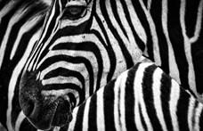Meg tudja mondani, melyik zebra néz a kamerába?