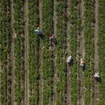 Drágább lehet idén a békési dinnye, a gazdák mégis aggódnak