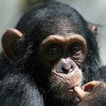 Meglepő képességre bukkantak a csimpánzoknál