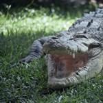 Rátámadt a gondozójára a krokodil, lelőtték