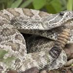 Megharapta az egyik csörgőkígyója, így bukott le a kígyókat tartó férfi