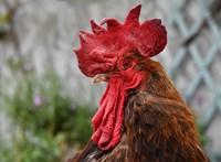 Törvény védi a tehéntrágya szagát és a kakaskukorékolást Franciaországban
