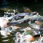 Katasztrofálisan csökkent a vándorló halak állománya