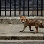 Benézett egy róka a londoni miniszterelnöki rezidenciára