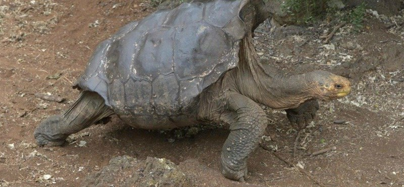 Szabadon engedik Galapagoson a százéves teknőst, aki megmentette a faját a kihalástól