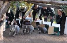 Videón, ahogy birtokba veszik új otthonukat a bozóttüzekből kimentett koalák