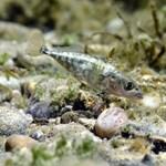 Egy generáció alatt is változhatnak bizonyos halak génjei