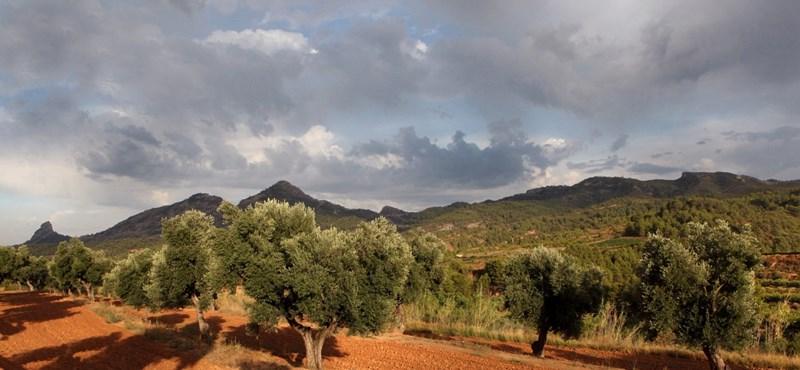 Terjed az olívabetegség, ami több ágazatnak is alaposan betehet