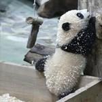 Fűrészporos mutatvánnyal debütált a második Tajvanon született pandabocs