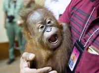 Orángutánkölyköt akart kicsempészni Baliról egy orosz férfi