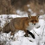 Veszett rókát fogtak Szerencsen, mindenki legyen óvatos