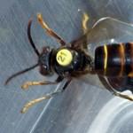 Jeladókat varrtak a 2,5 centis lódarazsakra, így találták meg a fészküket