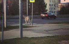 Átment a zebrán egy zebra Nyitrán