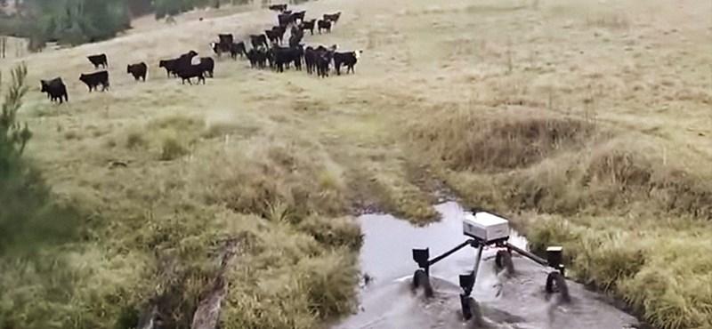A juhászkutyáknak is befellegzett, jönnek pásztor robotok – videó