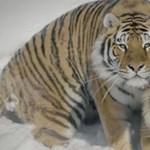 Beküldtek egy drónt két szibériai tigrishez, íme az eredmény – videó