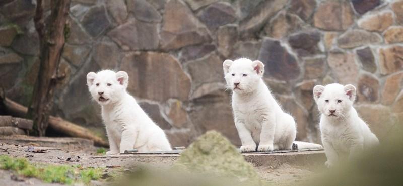 Fotó: Már karmolászni tanulnak a nyíregyházi kis fehér oroszlánok