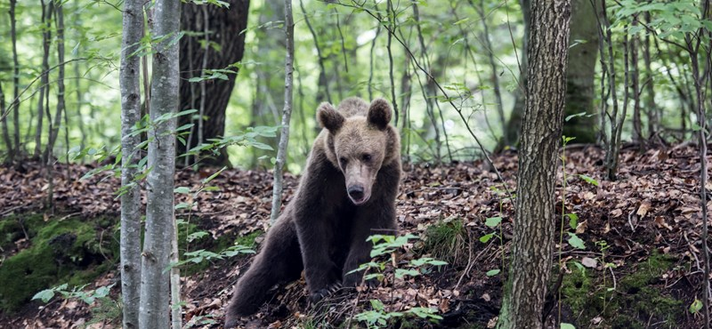 Megpróbált védekezni a magyar vadász, akire medve támadt Erdélyben, de nem sült el a puskája