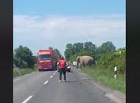 Elefánt sétálgatott a 6-os főúton