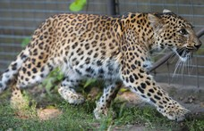 Leopárd ölte meg az erdőben meditáló szerzetest