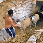 Folyamatos áremelkedésre számítanak a juhtenyésztők húsvétig