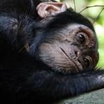"""Szomorú a helyzet: """"erdei gettókba"""" szorultak vissza a csimpánzok"""