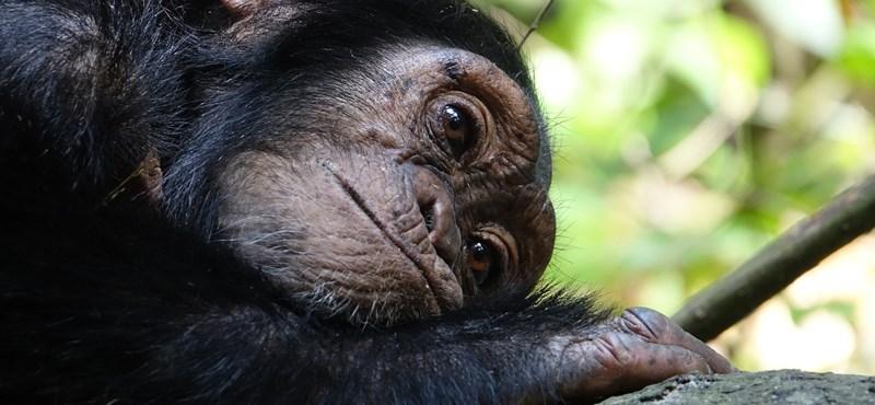 Tíz évi külföldi gyógykezelés után visszatért Szkopjéba a depressziós csimpánz