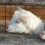 Ennyi vicces kecskét még nem látott egy rakáson – fotó