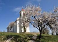 Európa fája - segítsük a pécsi mandulafát