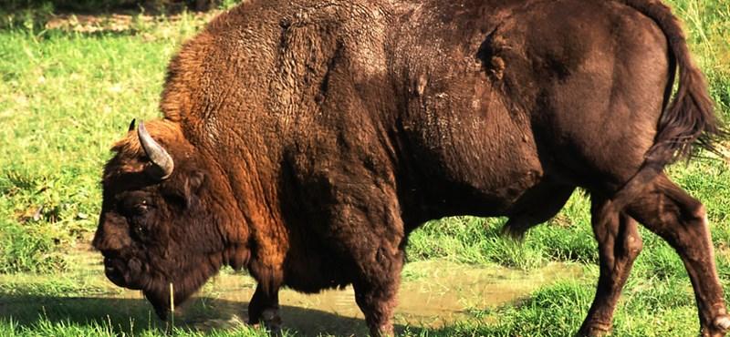Újra vannak vadon élő bölények Magyarországon