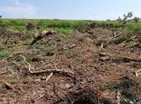 A januári pusztítás után megint kivágtak egy közel százéves erdőrészt Tiszaugnál