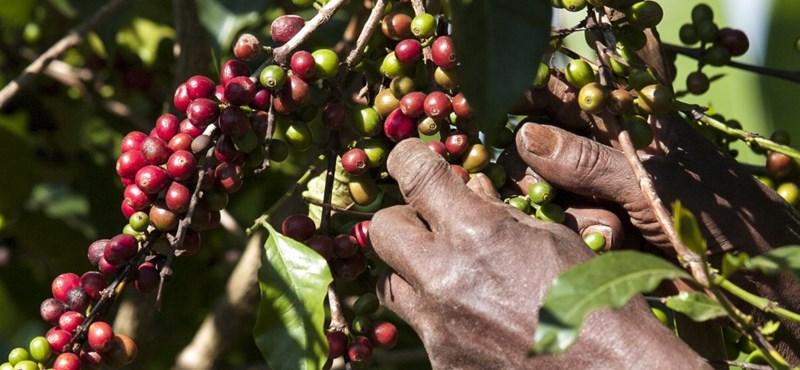 A klímaváltozás miatt veszélyben a kávétermesztés