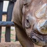 Elpusztult az egyik Ruandába menekített-telepített keskenyszájú orrszarvú