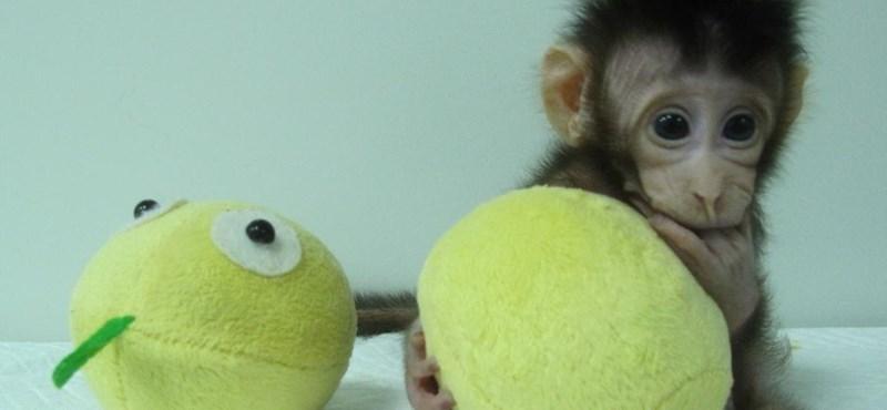 Áttörés: Dolly után klónozott majmok születtek