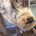 50 éves és alig őszül a világ legidősebb lajhárja – videó