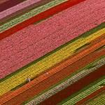 Amszterdami ünnep és üzlet a tulipán világnapján