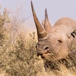 Áttelepítették őket, elpusztultak az amúgy is kihalás fenyegette orrszarvúak Csádban