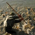 Magyar minőség: a halakra is védjegyet csapnak