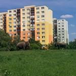 Elefántok legelésznek a budaörsi panelok között – fotó