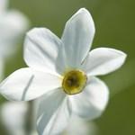 Virágba borult Európa legnagyobb nárciszmezője