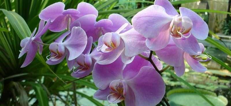 Hogyan neveljünk orchideát otthon? Kertész tippek