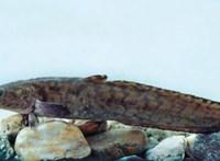 Egykor kihalt halat sikerült visszatelepíteni a Balatonba